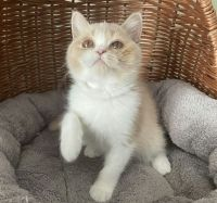 Maine Coon Cats for sale in Los Angeles, CA, USA. price: NA