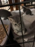 Maine Coon Cats for sale in Buffalo, NY, USA. price: NA