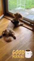 Mal-Shi Puppies for sale in Mansfield, MA, USA. price: NA