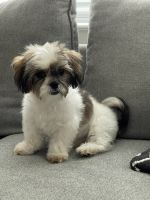 Mal-Shi Puppies for sale in Nyack, NY 10960, USA. price: NA