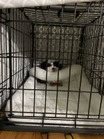 Mal-Shi Puppies for sale in Westerly, RI, USA. price: NA