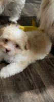 Mal-Shi Puppies for sale in East Palo Alto, CA, USA. price: NA
