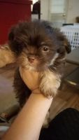 Mal-Shi Puppies for sale in Holiday, FL, USA. price: NA