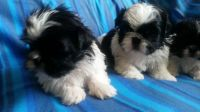 Mal-Shi Puppies for sale in Tempe, AZ, USA. price: NA