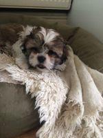 Mal-Shi Puppies for sale in Southfield, MI, USA. price: NA