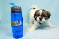 Mal-Shi Puppies for sale in Agoura Hills, CA, USA. price: NA