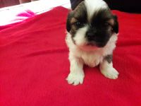 Mal-Shi Puppies for sale in Pleasant Hill, IA, USA. price: NA