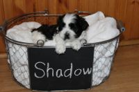 Mal-Shi Puppies for sale in Conover, NC, USA. price: NA
