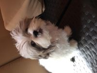 Mal-Shi Puppies for sale in Los Angeles, CA 90027, USA. price: NA