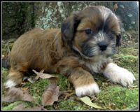 Mal-Shi Puppies for sale in Statham, GA, USA. price: NA