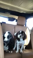 Mal-Shi Puppies for sale in Oklahoma City, OK, USA. price: NA