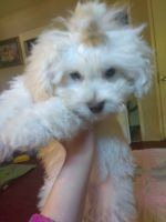Mal-Shi Puppies for sale in Pleasant Hill, CA 94523, USA. price: NA