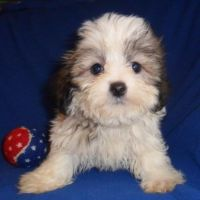 Mal-Shi Puppies for sale in Canton, OH, USA. price: NA