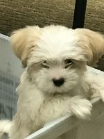 Mal-Shi Puppies for sale in Naples, FL, USA. price: NA