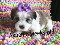 Mal-Shi Puppies for sale in Chico, CA, USA. price: NA