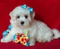 Mal-Shi Puppies for sale in Fresno, CA, USA. price: NA