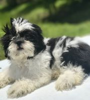 Mal-Shi Puppies for sale in Dania Beach, FL, USA. price: NA