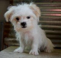 Mal-Shi Puppies for sale in Florida Blvd, Baton Rouge, LA, USA. price: NA