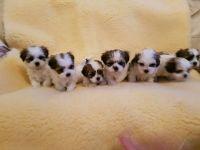 Mal-Shi Puppies for sale in FL-535, Orlando, FL, USA. price: NA