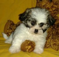 Mal-Shi Puppies for sale in Los Angeles, CA, USA. price: NA