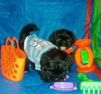 Mal-Shi Puppies for sale in Oak Park, IL, USA. price: NA