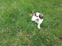Mal-Shi Puppies for sale in Cleveland, OH, USA. price: NA