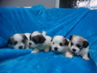 Mal-Shi Puppies for sale in Colorado Springs, CO, USA. price: NA