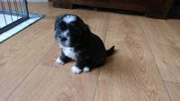 Mal-Shi Puppies for sale in Chicago, IL, USA. price: NA