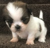 Mal-Shi Puppies for sale in Newport, RI, USA. price: NA
