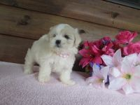 Mal-Shi Puppies for sale in Lake City, FL, USA. price: NA