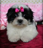 Mal-Shi Puppies for sale in Decatur, AL, USA. price: NA