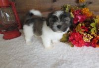 Mal-Shi Puppies for sale in Hyattsville, MD, USA. price: NA
