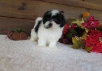 Mal-Shi Puppies for sale in Winston-Salem, NC, USA. price: NA