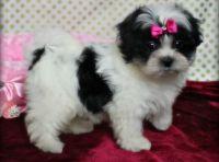 Mal-Shi Puppies for sale in Cedar Rapids, IA, USA. price: NA