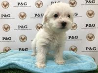 Mal-Shi Puppies for sale in Temple City, CA, USA. price: NA