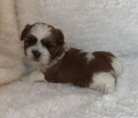 Mal-Shi Puppies for sale in New York, IA 50238, USA. price: NA