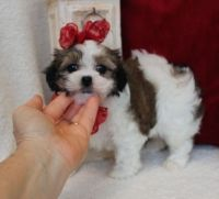 Mal-Shi Puppies for sale in Torrance, CA, USA. price: NA