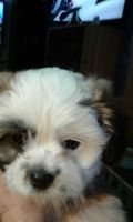 Mal-Shi Puppies for sale in Marion, MI 49665, USA. price: NA