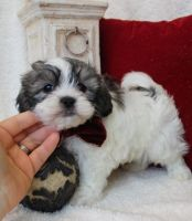 Mal-Shi Puppies for sale in Glendale, AZ, USA. price: NA