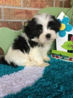 Mal-Shi Puppies for sale in Jersey City, NJ 07306, USA. price: NA