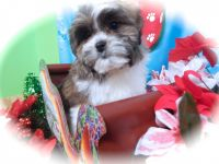 Mal-Shi Puppies for sale in Hammond, IN, USA. price: NA