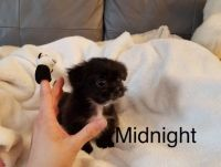 Mal-Shi Puppies for sale in Los Angeles, CA 90006, USA. price: NA