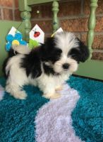 Mal-Shi Puppies for sale in Crystal City, MO, USA. price: NA