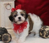 Mal-Shi Puppies for sale in Decker, MT 59025, USA. price: NA