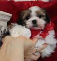 Mal-Shi Puppies for sale in Detroit, MI, USA. price: NA