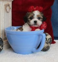 Mal-Shi Puppies for sale in Albuquerque, NM, USA. price: NA