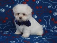 Mal-Shi Puppies for sale in Houston, TX, USA. price: NA