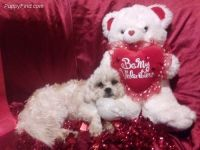 Mal-Shi Puppies for sale in Dresden, OH 43821, USA. price: NA