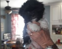 Mal-Shi Puppies for sale in Des Moines, IA, USA. price: NA