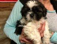 Mal-Shi Puppies for sale in Galivants Ferry, SC 29544, USA. price: NA